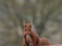 ecureuil-clunisois-photo-pierre-maillet