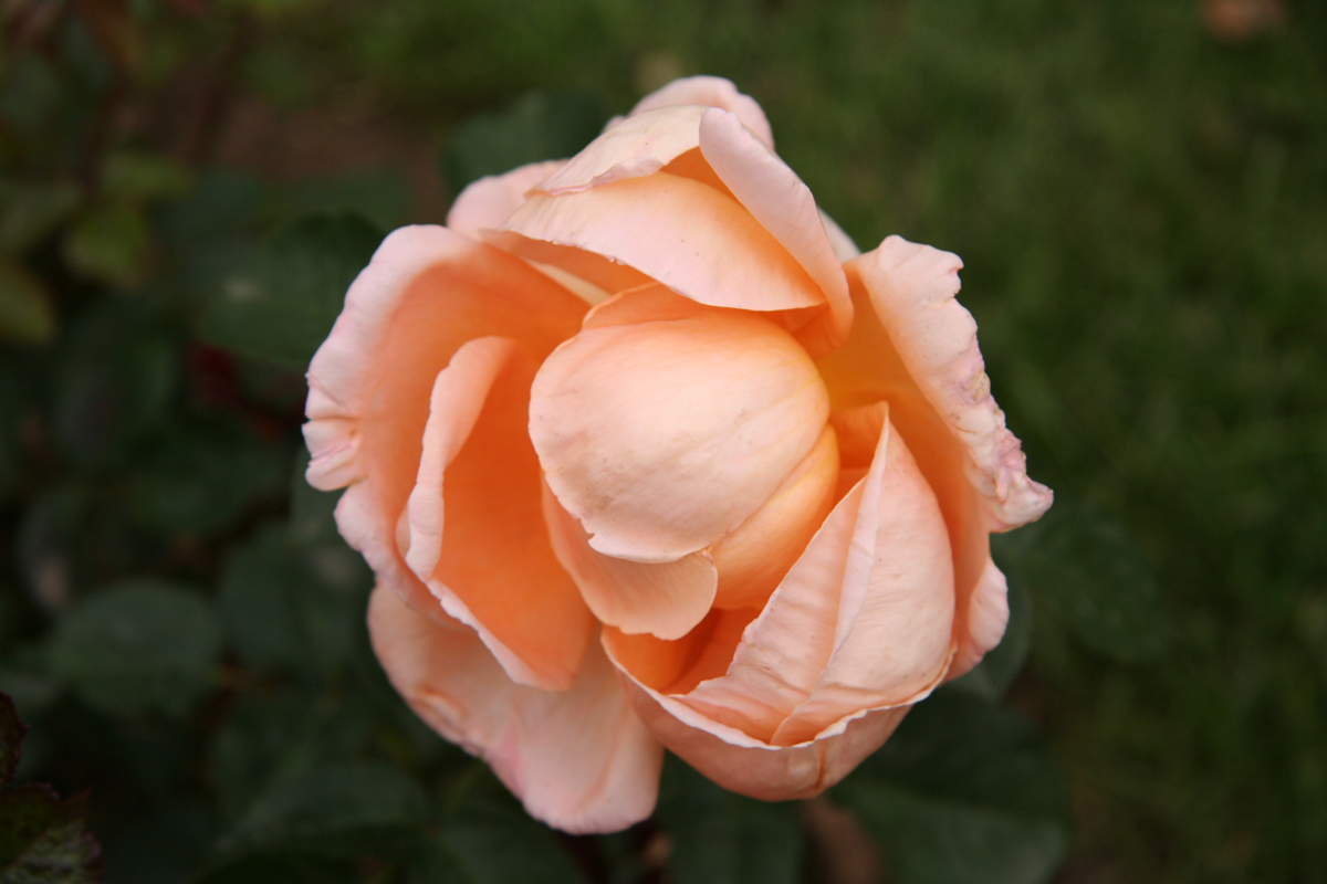 rose-abbaye-cluny-wikipedia